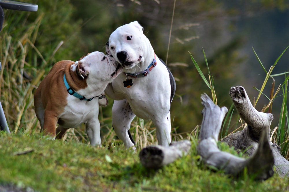 two adult white Dogo Argentino dogs