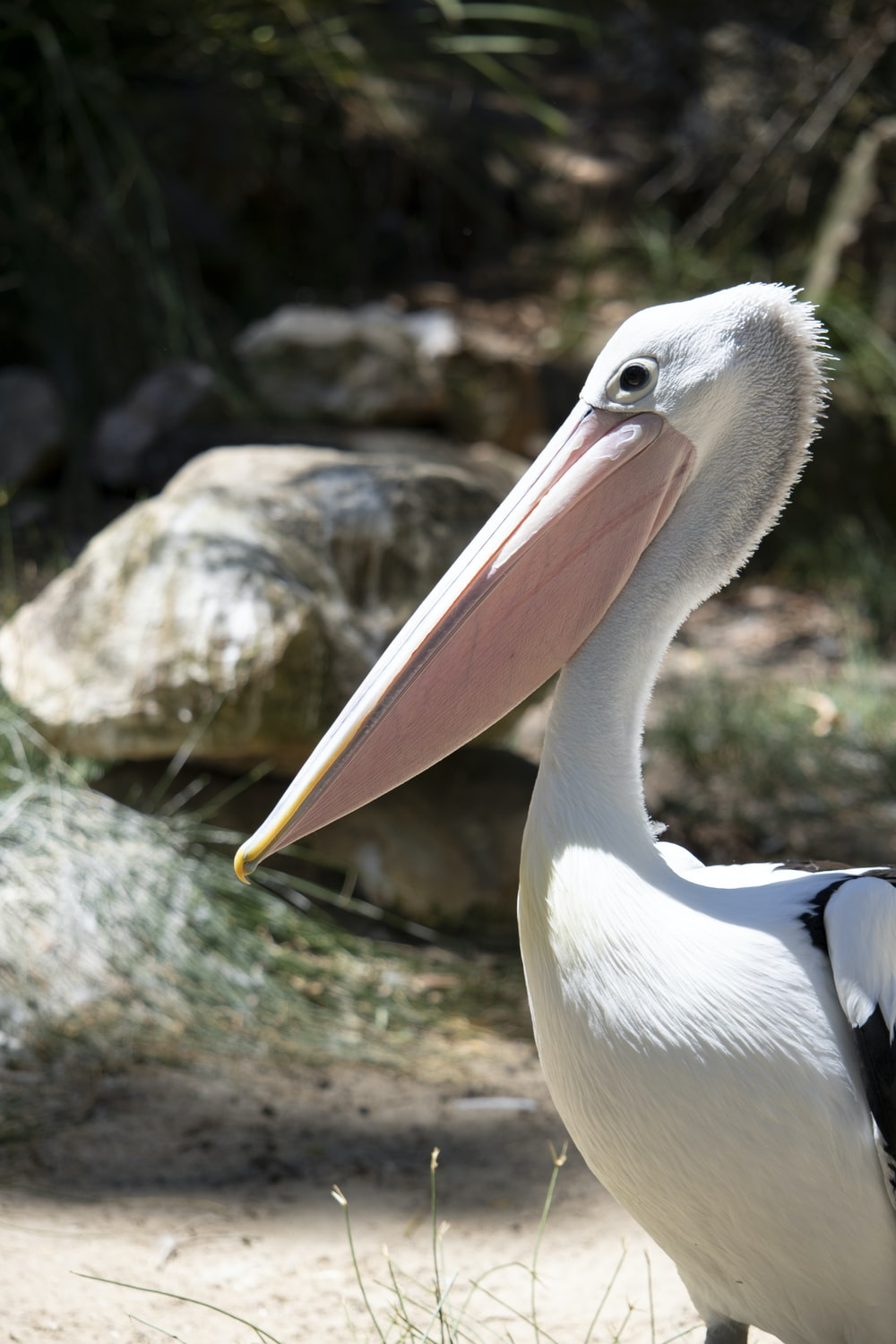 close-up photography of white pelican