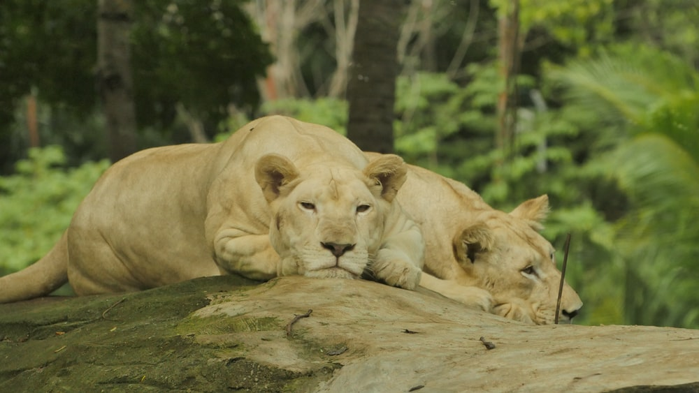 two lioness lying on rock