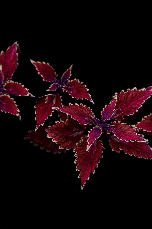 red-leaf plant