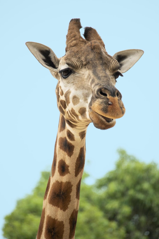 brown and beige giraffe