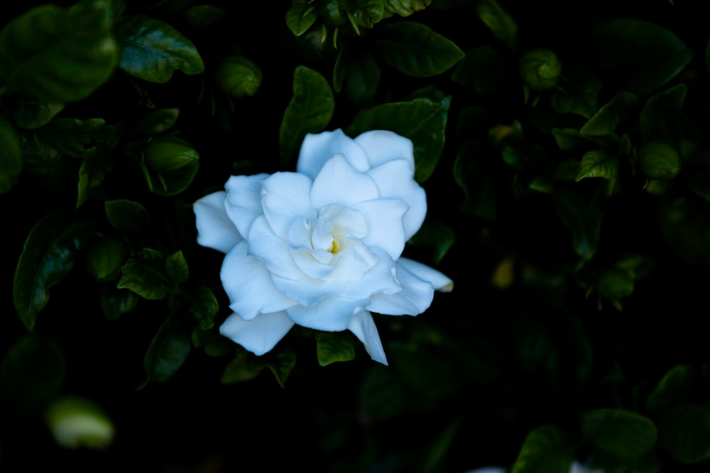 white cluster flower in bloom
