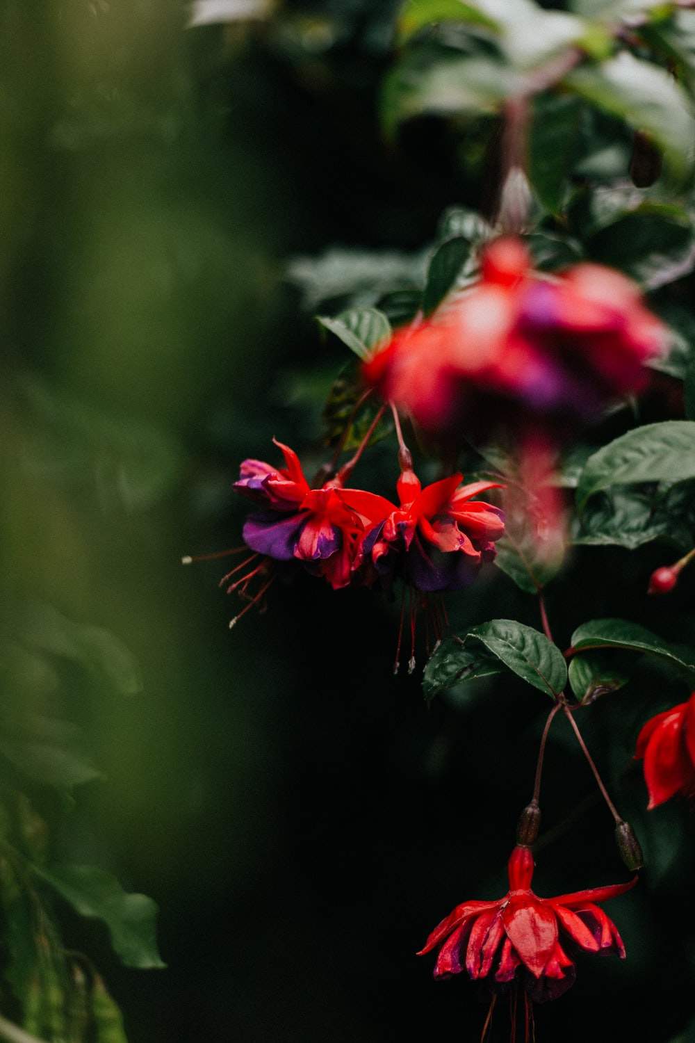 closeup photography of red-and-purple fuchsia flower