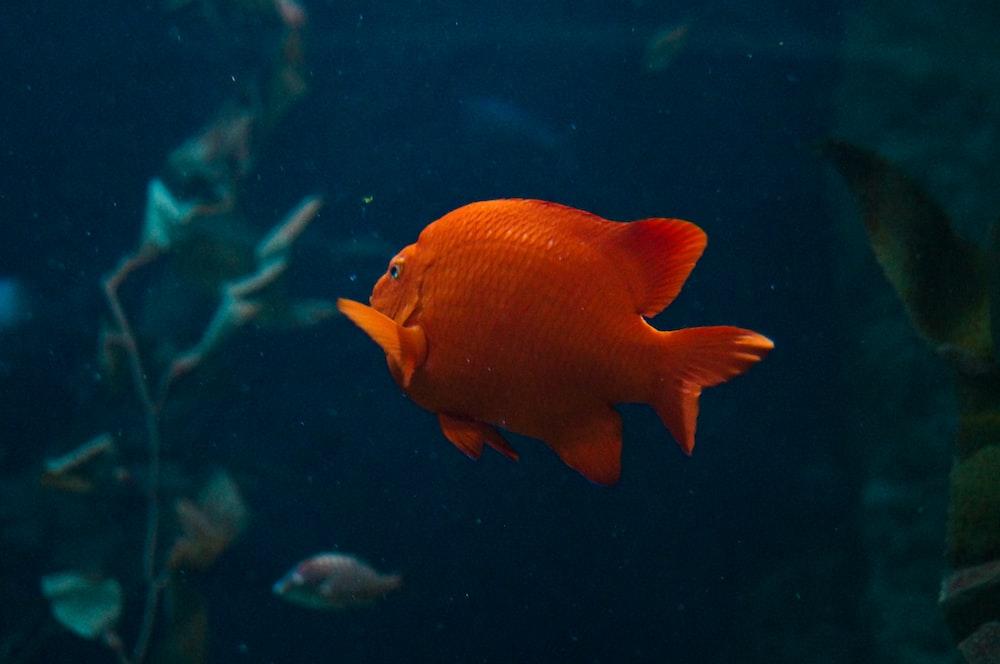 orange fish swimming near plant