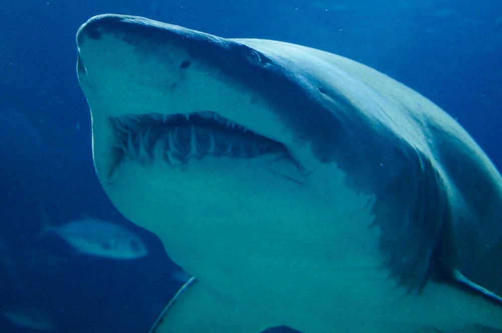 great whale shark