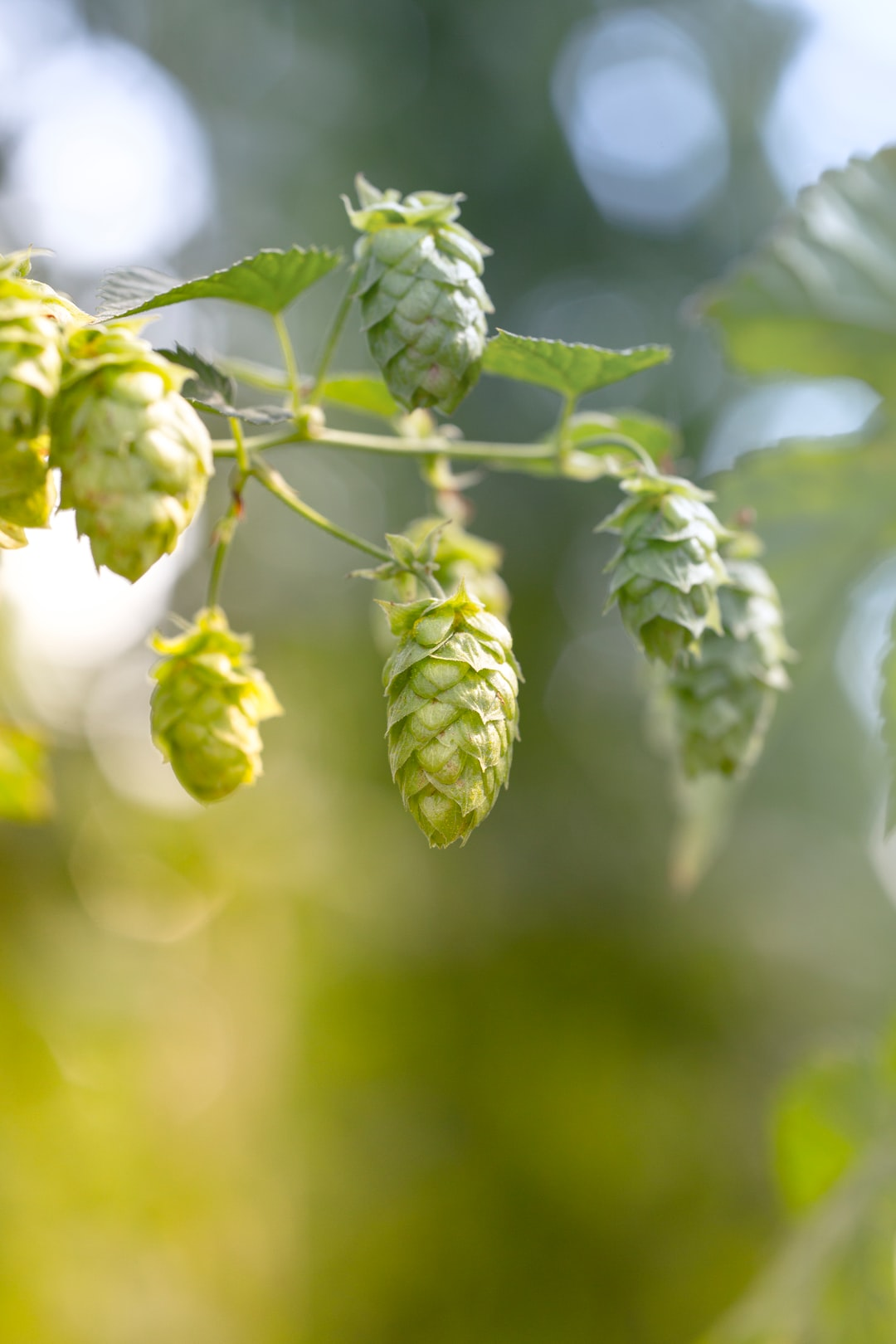 Organic bio hop for craftbeer, grown in Upper Franconia. Made with Canon 5d Mark III and loved analog lens, Leica APO Macro Elmarit-R 2.8 / 100mm (Year: 1993)