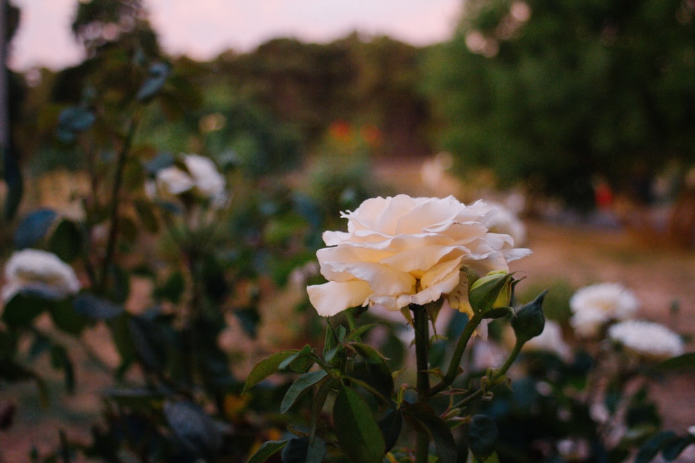 white meadow rose