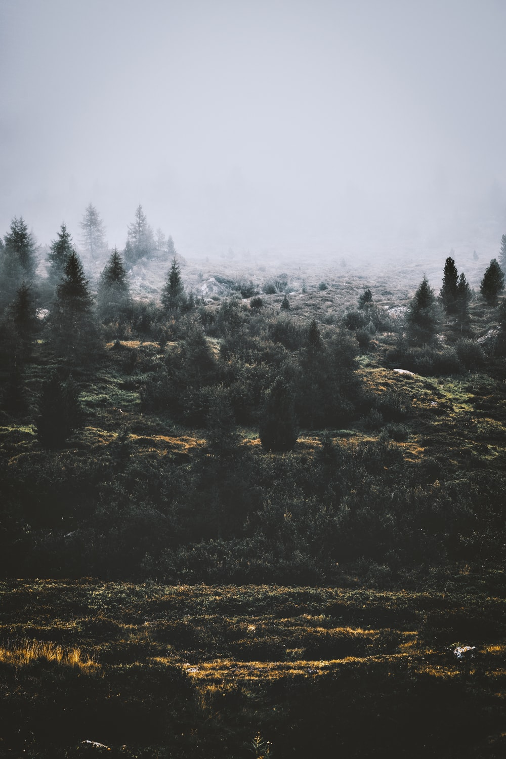 pine trees covered countryside