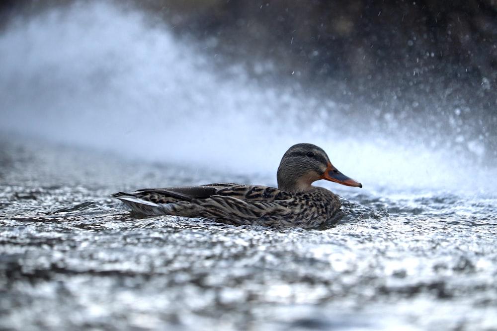 mallard duck resting on ground
