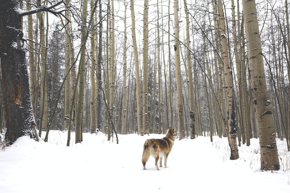 brown wolf on snow covered ground
