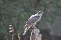 gray hawk eagle on brown log at daytime