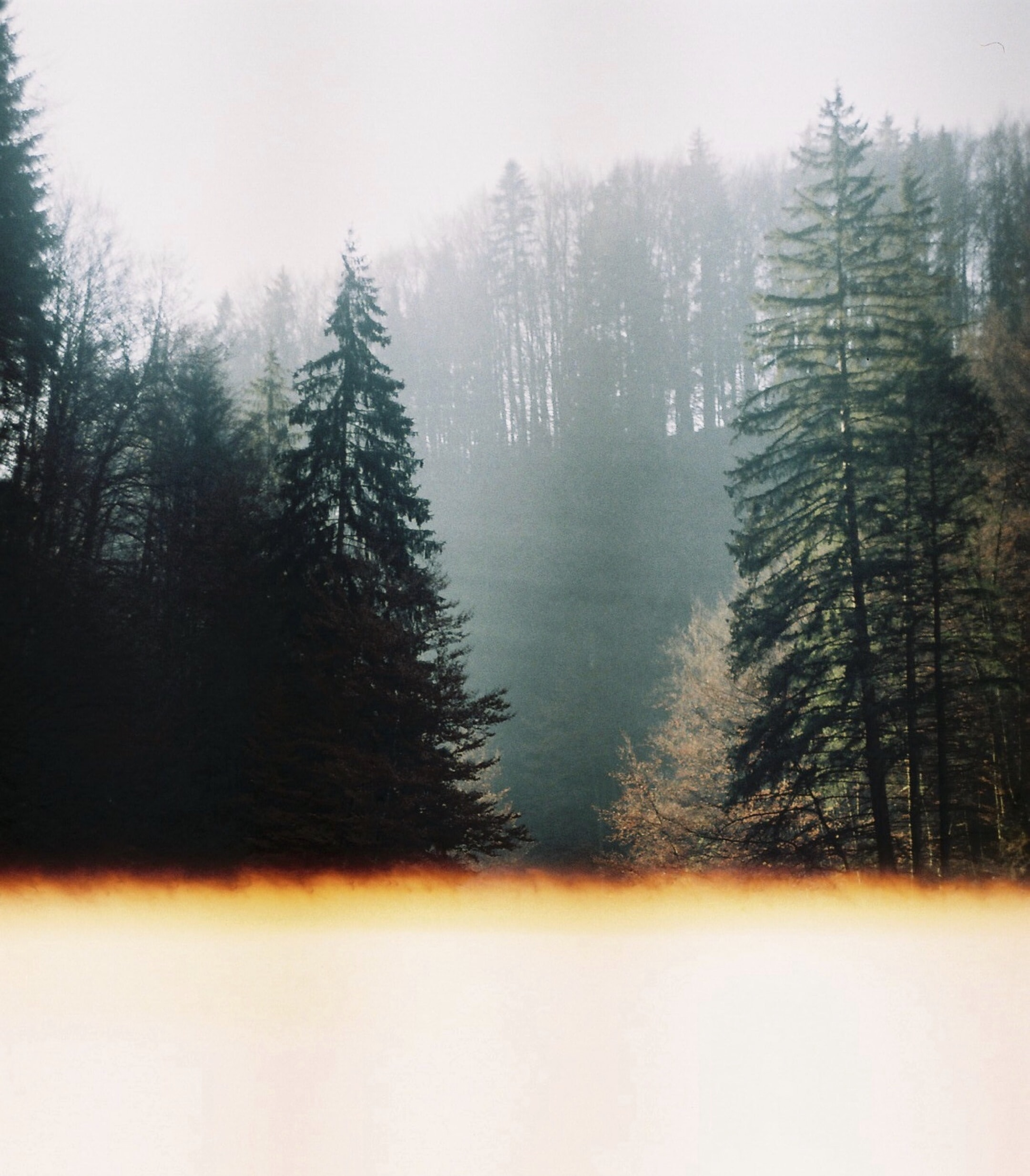 forest with tall trees covered with fogs