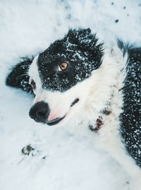 white and black dog on snow