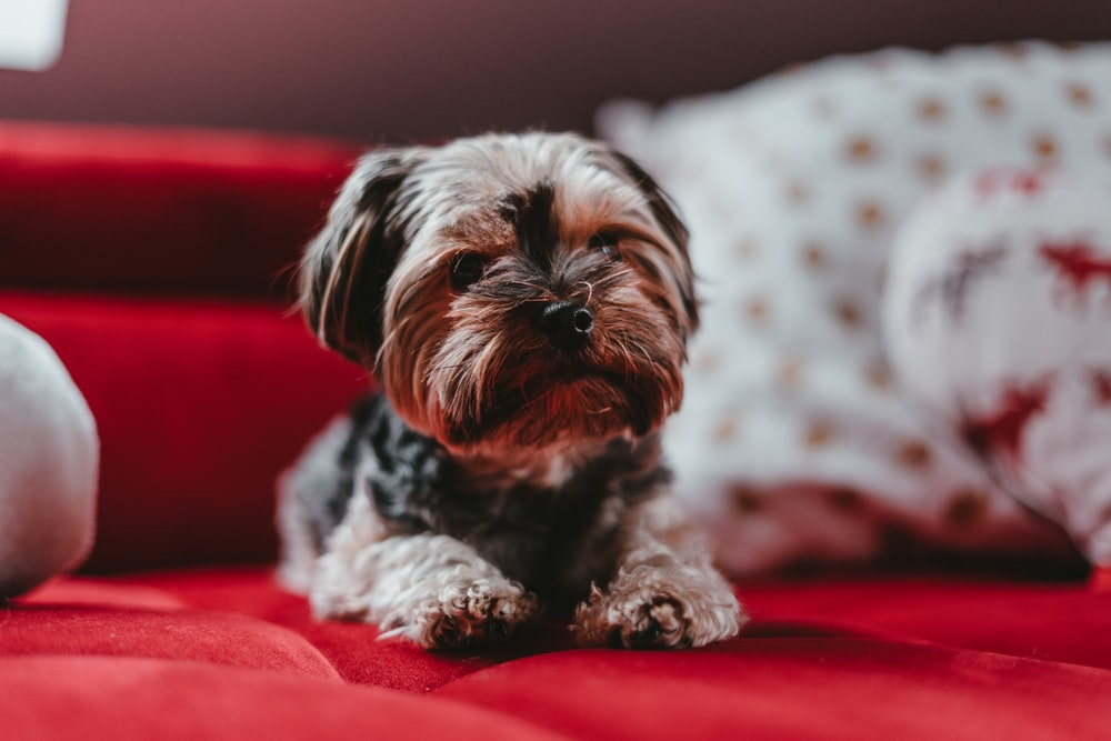 shallow focus photo of brown shih tzu puppy lying on red textile