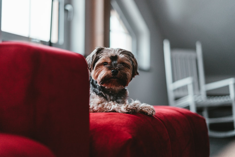 selective focus photography of long-coated dog on red sofa