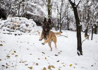 German shepherd running on snow