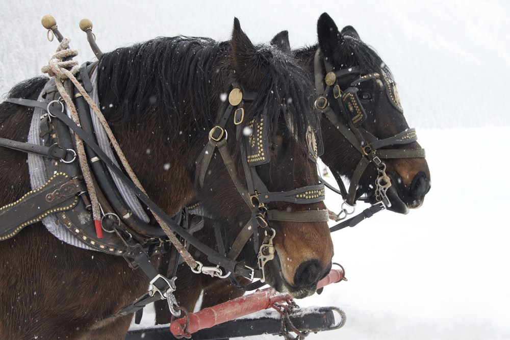 two brown horse on snow