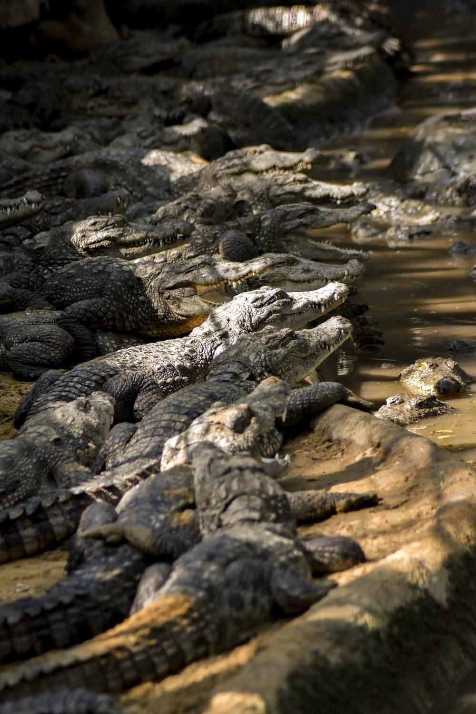 group of crocodiles