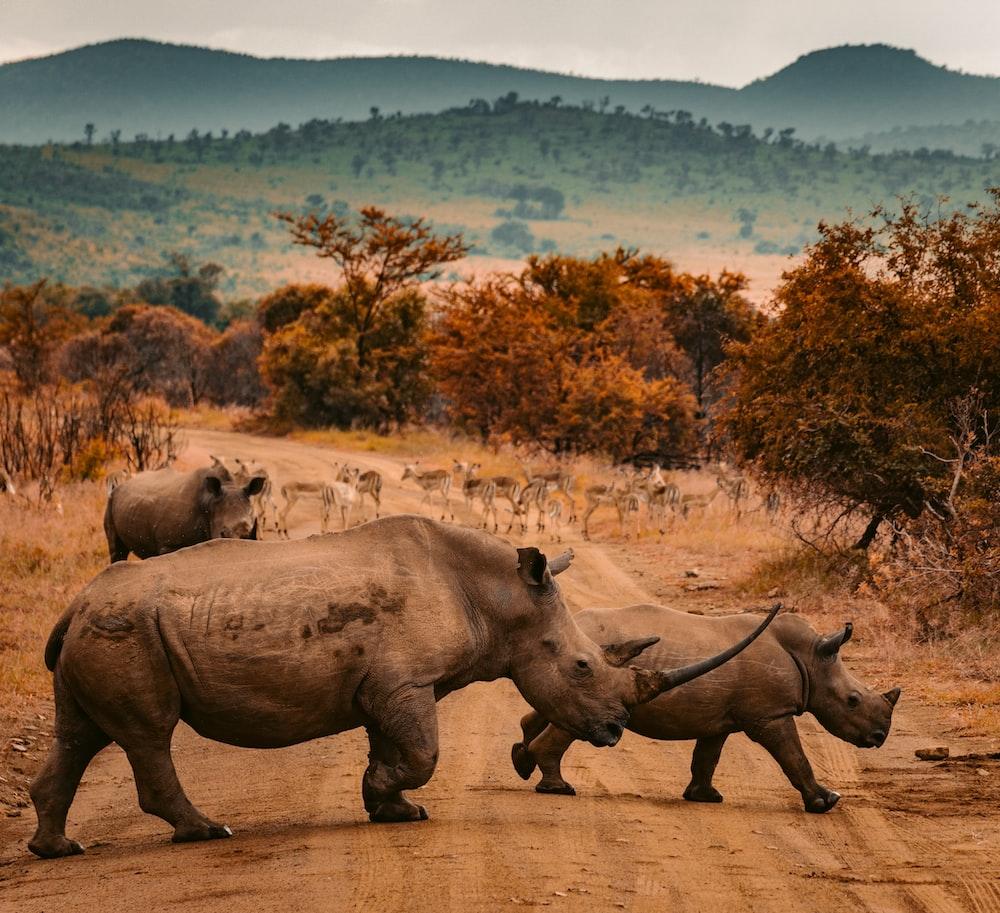 three rhinos walking on farm road