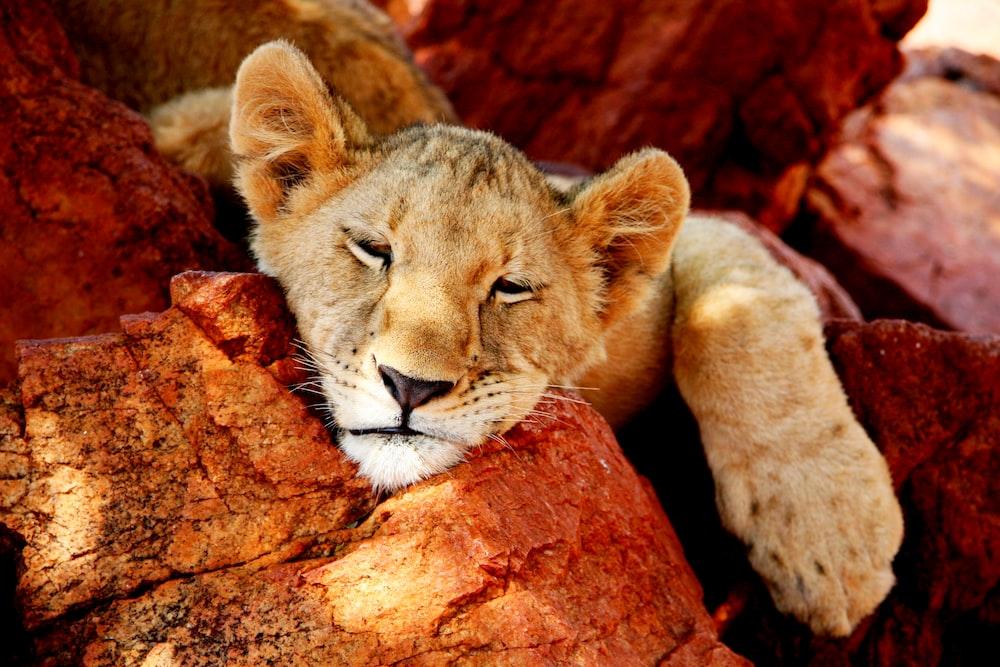 tiger cub sleeps on brown log