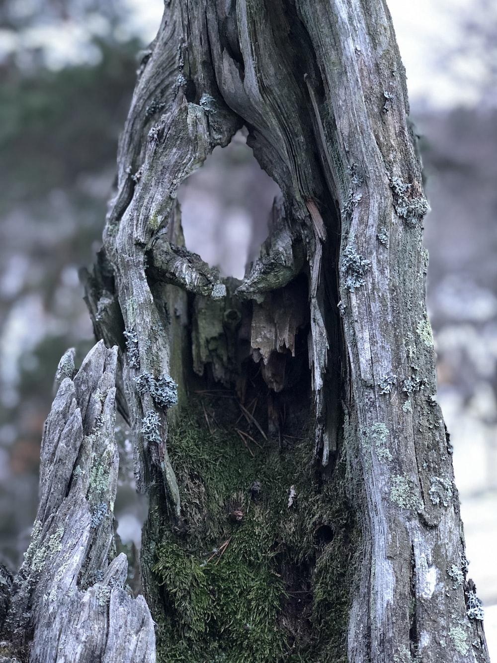 gray bark tree