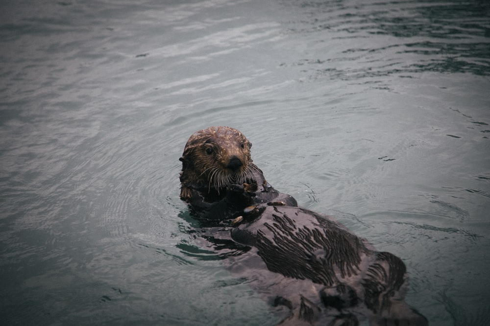 beaver on body of water