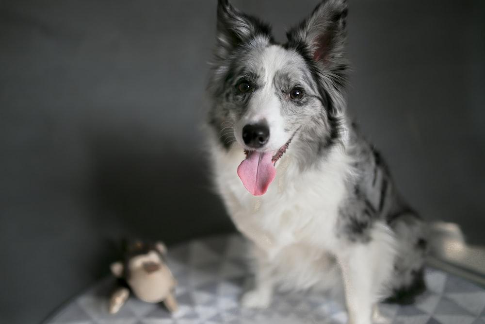 shallow focus photo of long-coated white and black dog