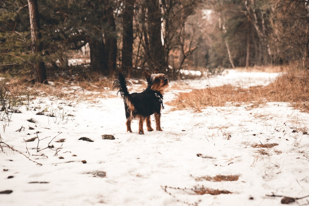 black and tan Yorkshire Terrier standing on snow surrounded by trees during daytime