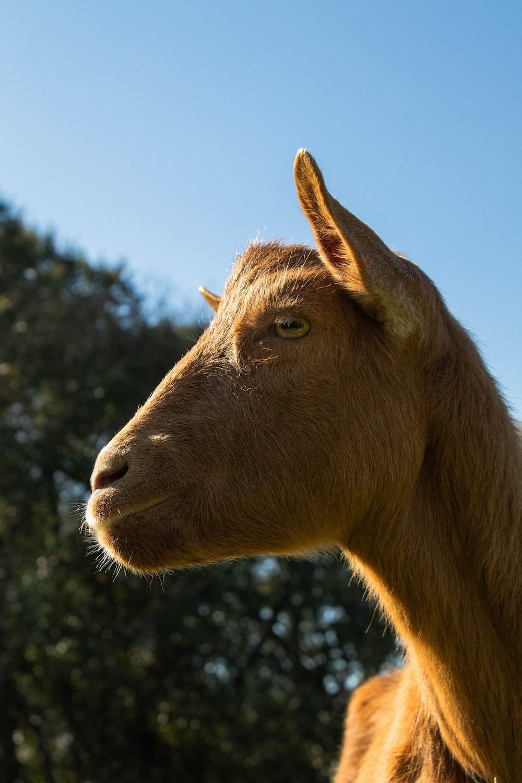 brown goat at daytime