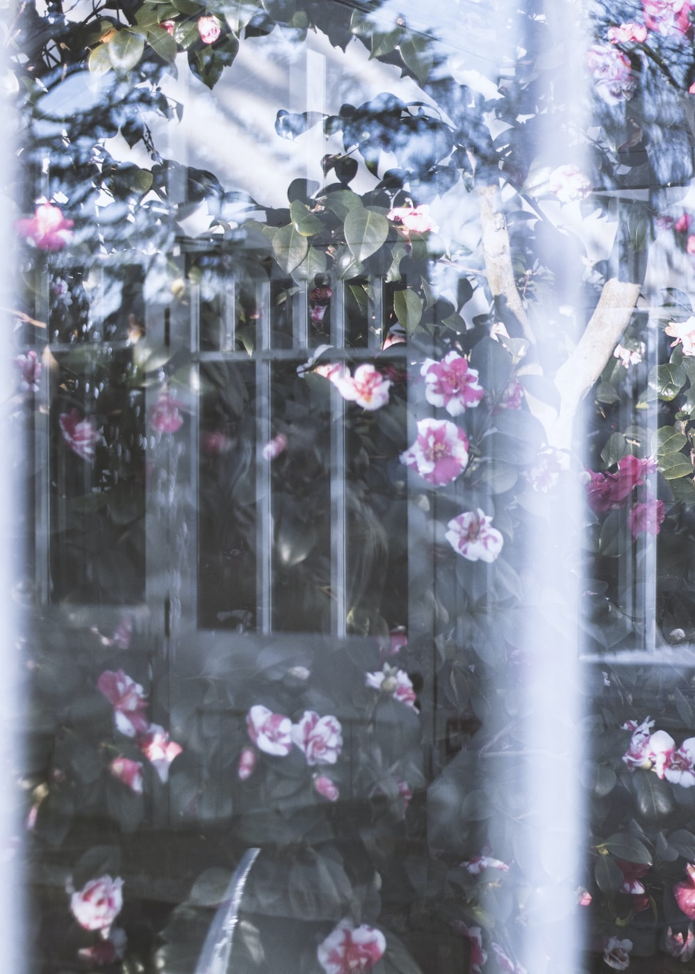white-and-pink camellia flowers on fence