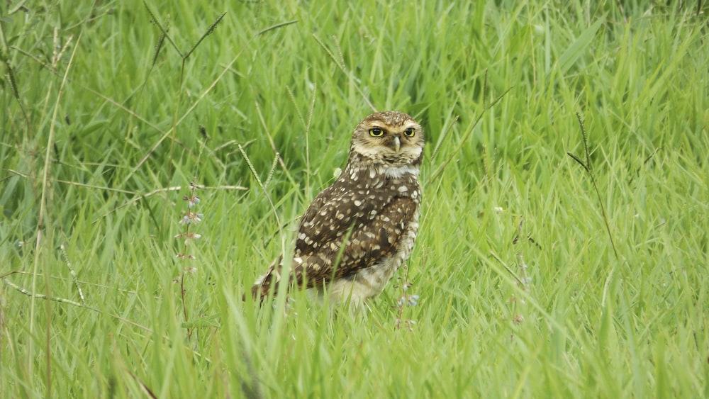 brown owl on green grass