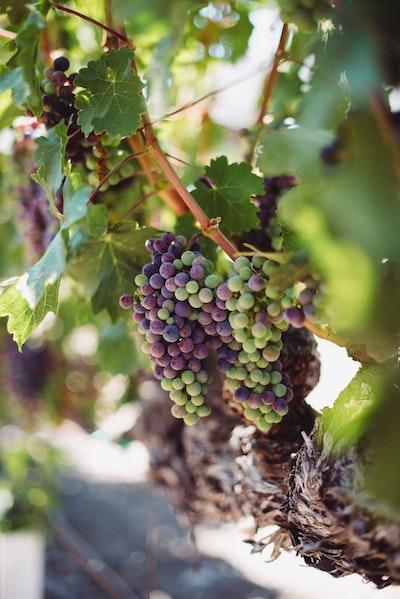 4684. Bor,szőlő, borászatok