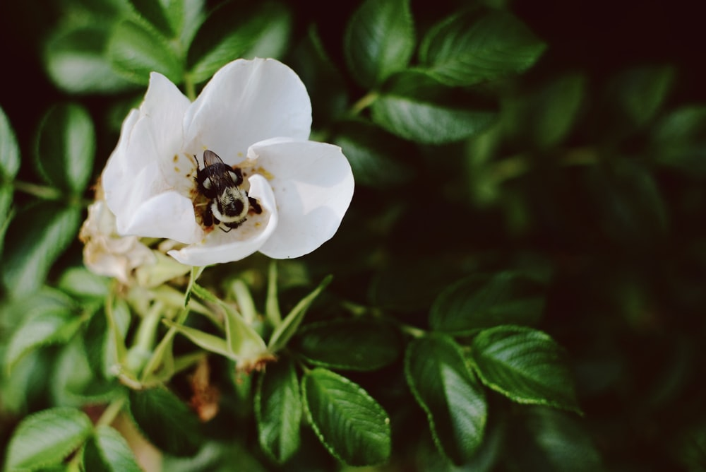 bee porches on white flower