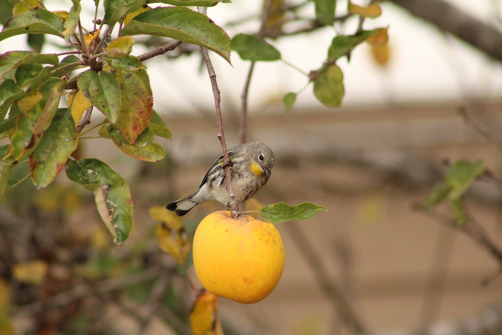 close up photography of brown bird on yellow round fruit during daytime