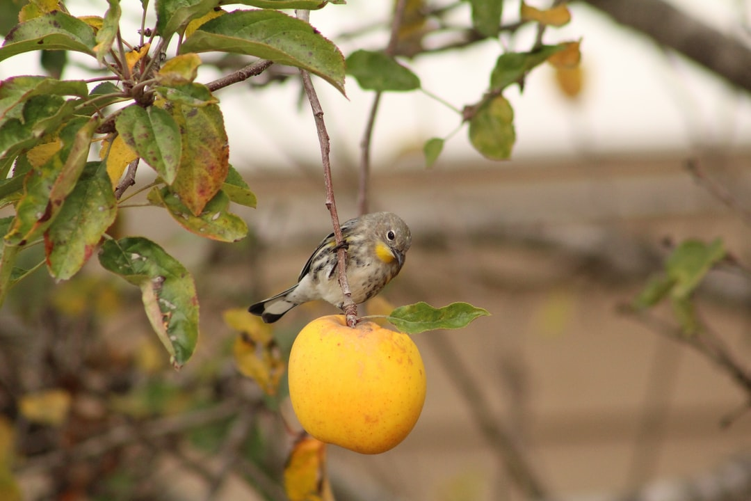 Yellow-Rumped Warbler stirring upon a yellow apple
