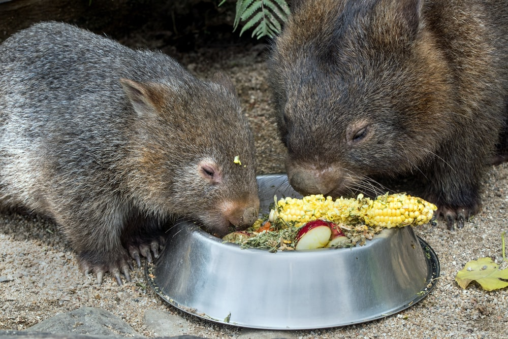 two rodent eating corns