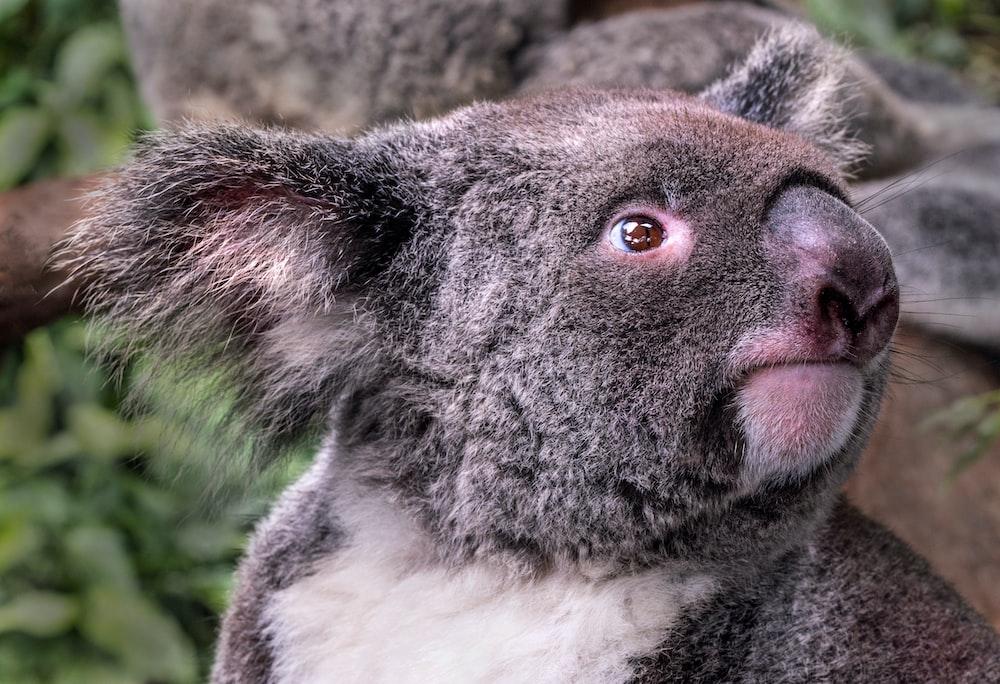gray and white koala bear