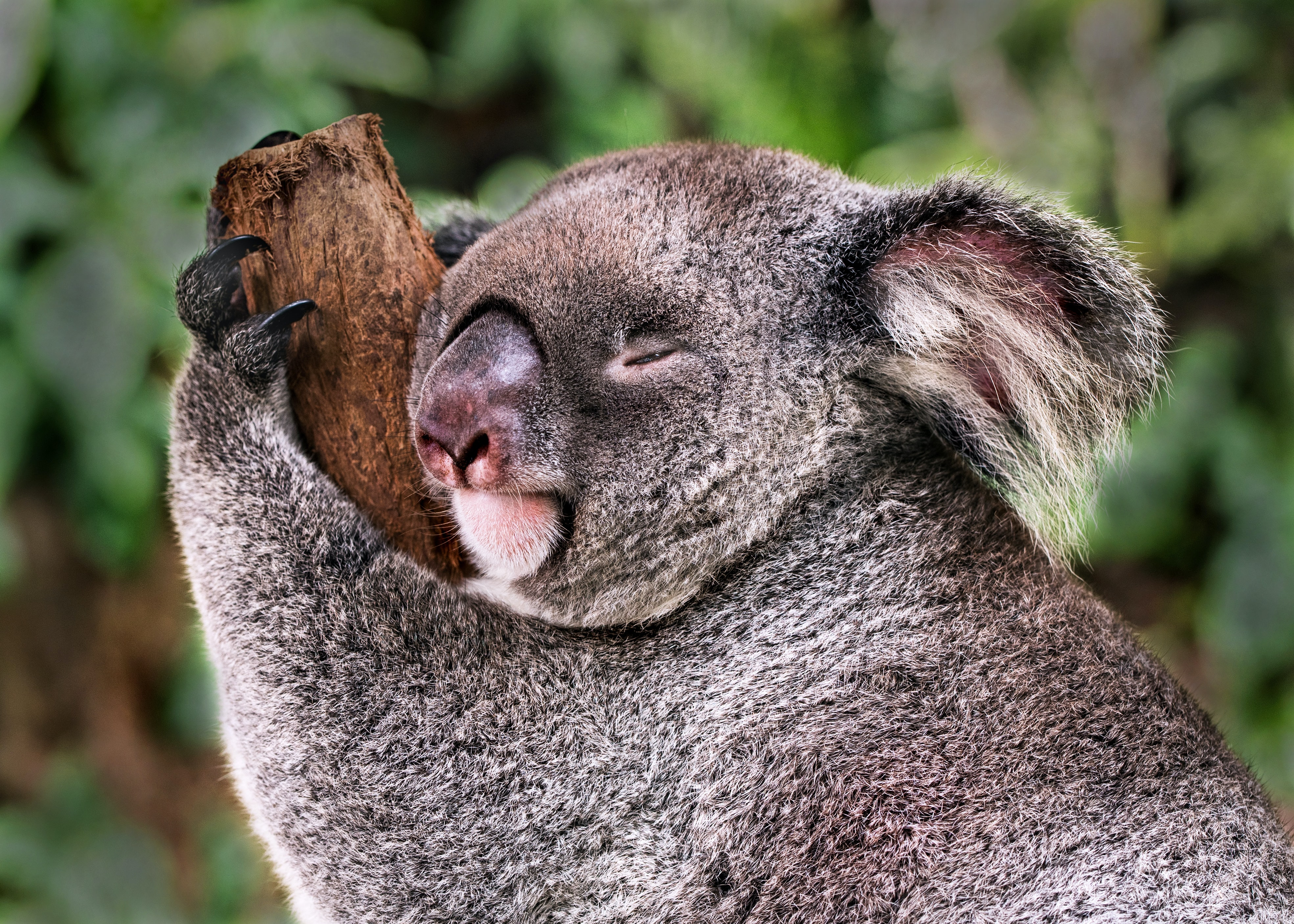 Koala bear clinging on tree branch