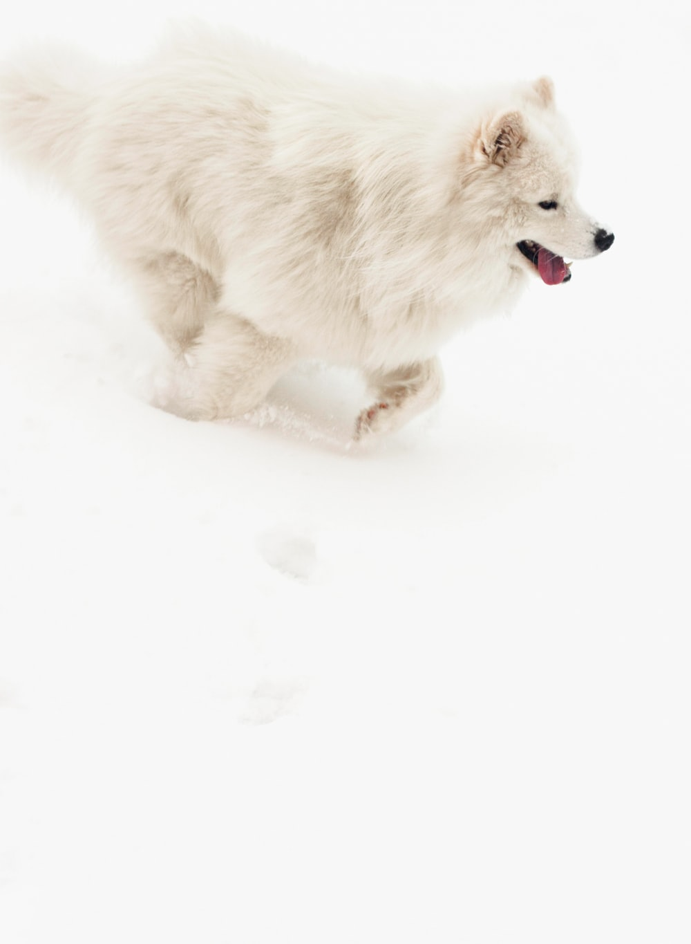long-coated white puppy
