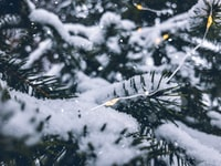 green pine tree covered with snow close-up photography