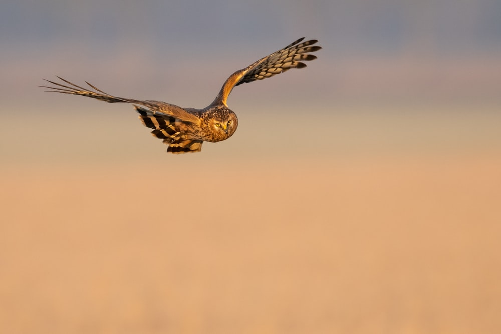 brown owl in flight