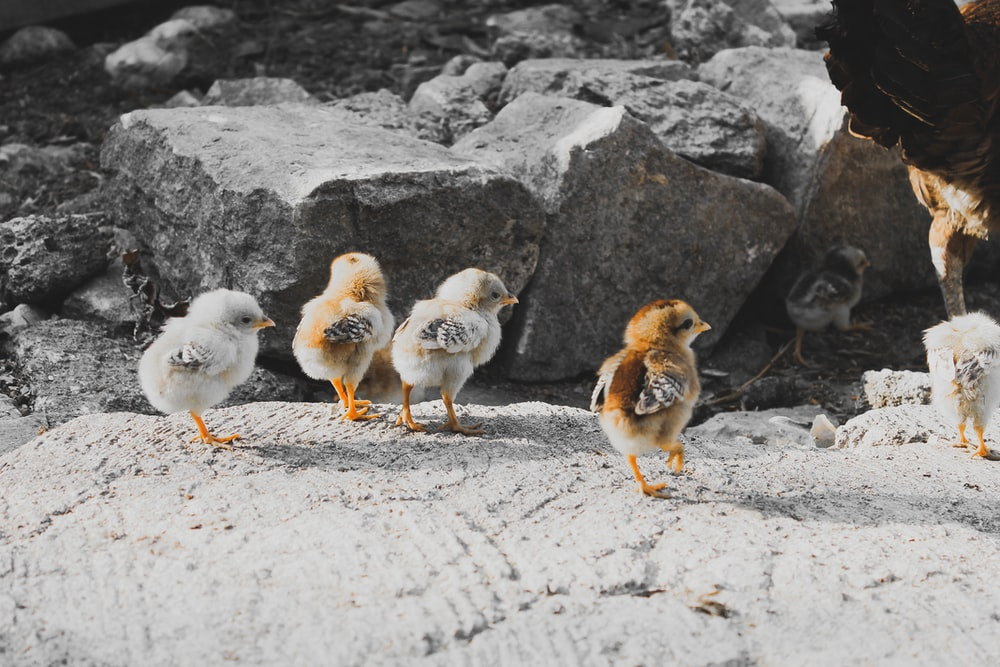 five brown and gray chicks
