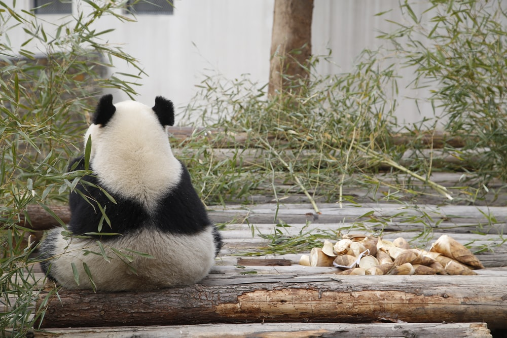 white and black panda sitting near green-leafed plant