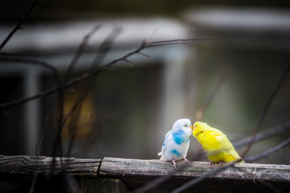 yellow and white parakeet kissing outdoor