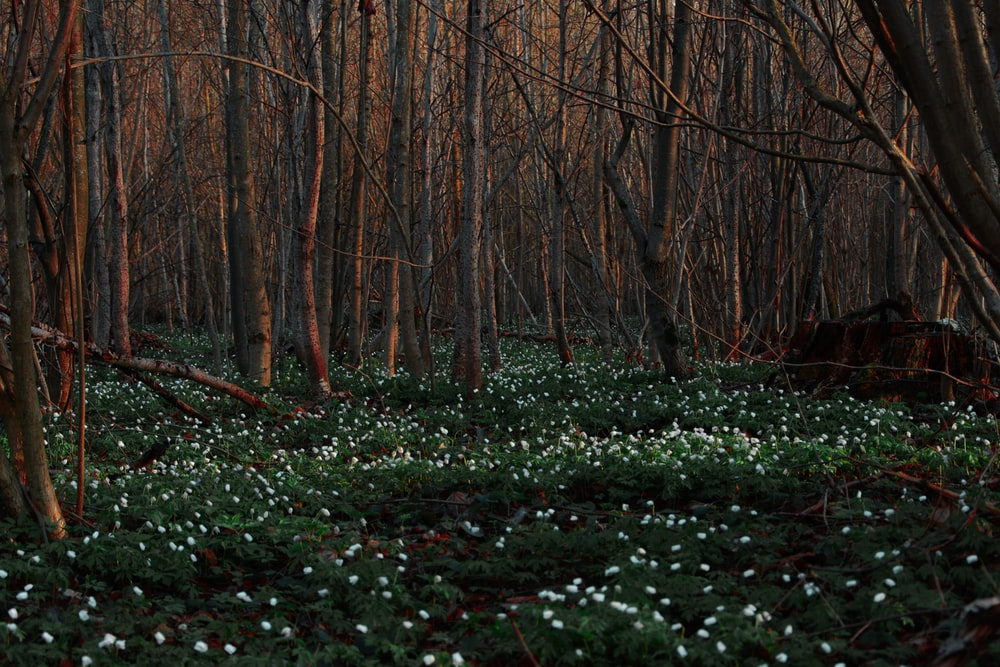 white petaled flowers surrounded by trees