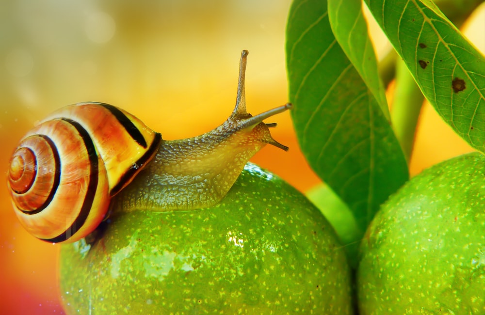 orange and black snail on green mango fruit