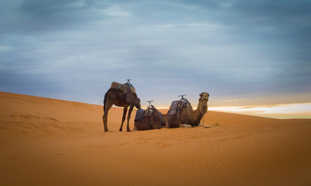 three brown camel in desert during daytime