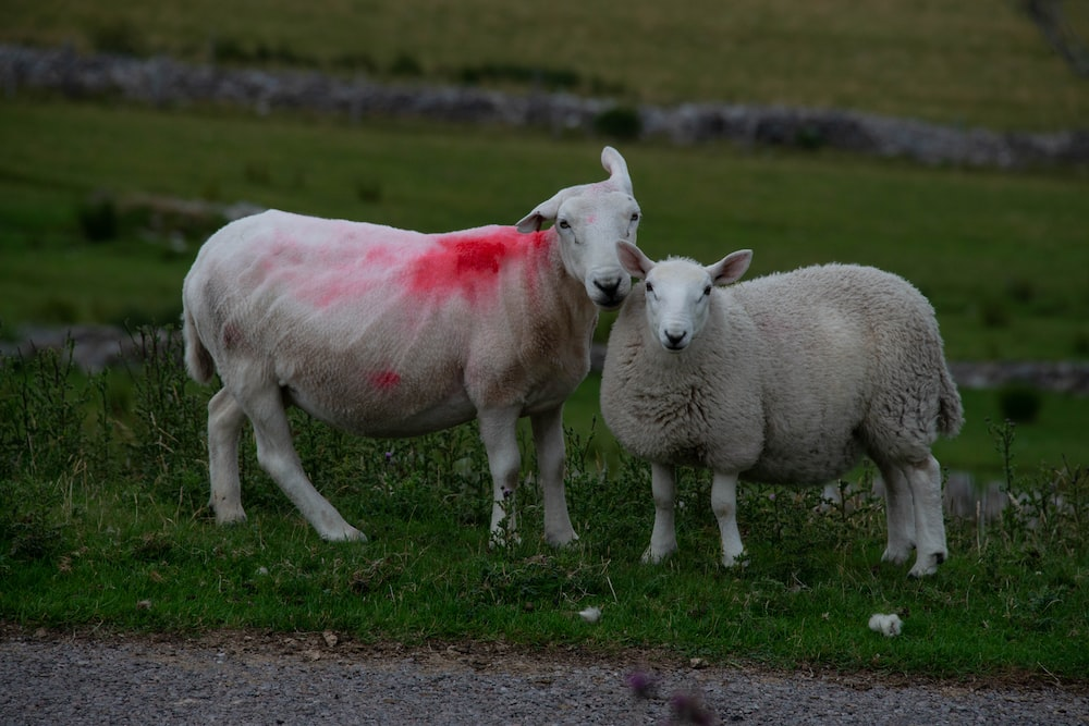 pair of white sheep standing on green grass