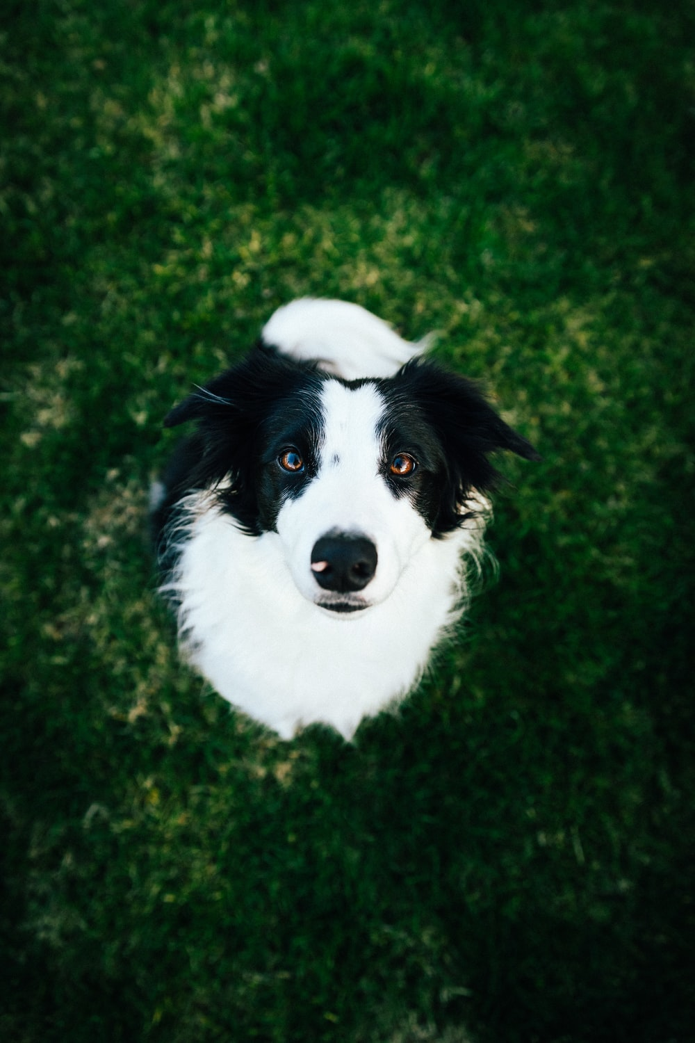 white and black long-coated dog on green grass
