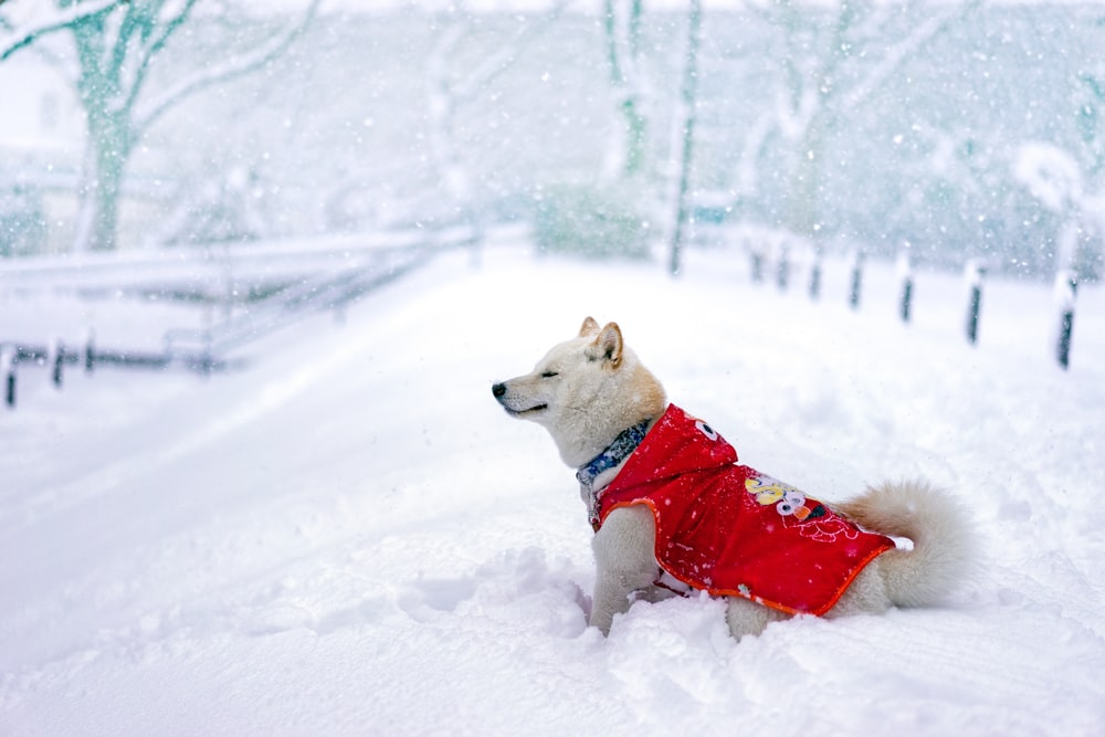 dog in red Elmo shirt stands on snowfield